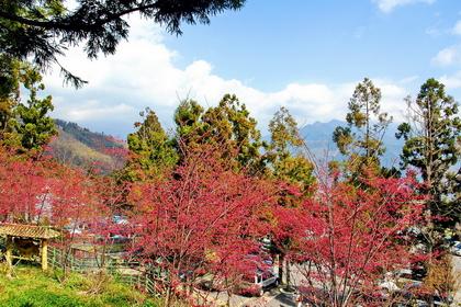 清境櫻花步道