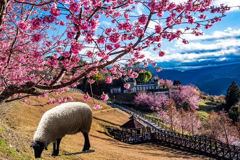 清境櫻花盛開中